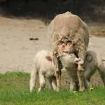 Owce uhruskie