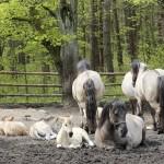 Koniki polskie, Florianka